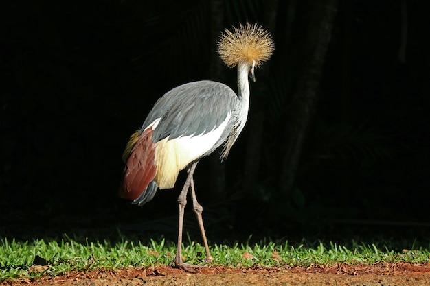 Grey crowned crane bird, der im sonnenlicht sich entspannt, foz tun iguacu, brasilien, südamerika