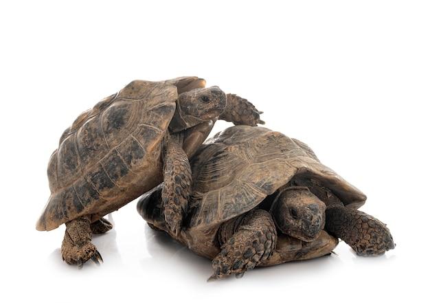 Griechische schildkröten vor weißem hintergrund