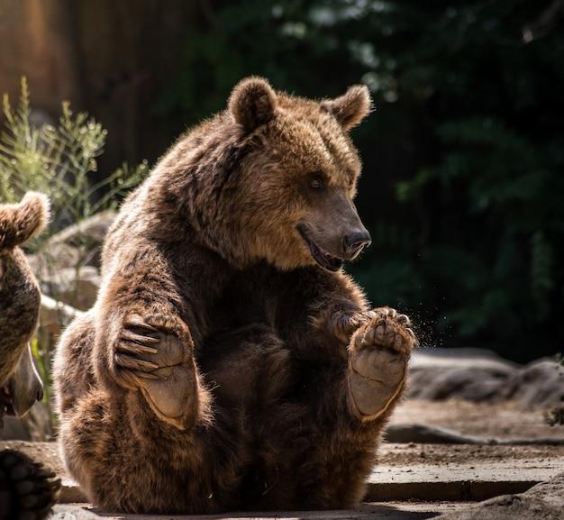 Grizzly verspielt