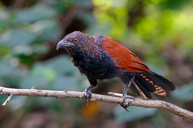 Größere coucal centropus sinensis schöne vögel von thailand