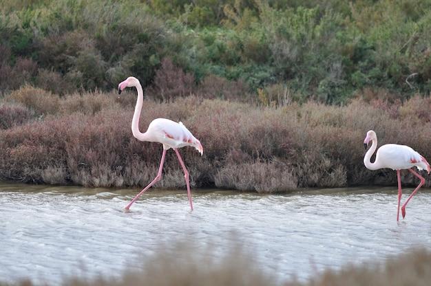 Größere rosa flamingos in camargue