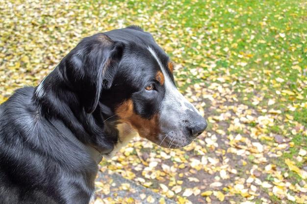Größerer schweizer gebirgshund oder sennenhund. herbst porträt.