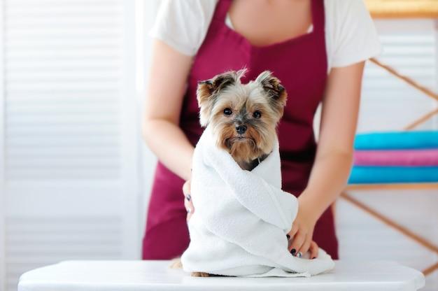 Groomer, der tuch auf einen yorkshire-terrierhund setzt