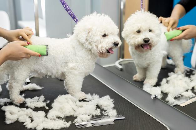 Groomer schneidet einen kleinen hund bichon frise mit einem elektrischen haarschneider. schneiden von haaren im hundefriseur eines hundes bichon frise. friseur für tiere