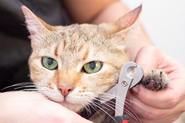 Groomer schneidet katzenkrallen. salon für tiere. schöne katze in einem schönheitssalon. tierpflege