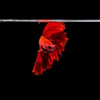 Großansicht Hintergrund Tier Aquarium Kampf betta Fisch