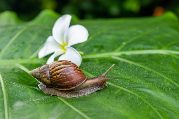 Große achatina-schnecke, die auf ein grünes blatt mit wassertröpfchen mit einer weißen schönen magnolienblume unter einem grünen garten gelegen nahes upcosmetology kriecht