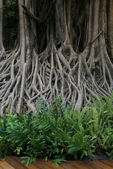 Große banyanbaumwurzel