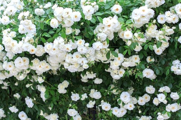 Große blühende hecke aus weißen rosen. natürliche blüte