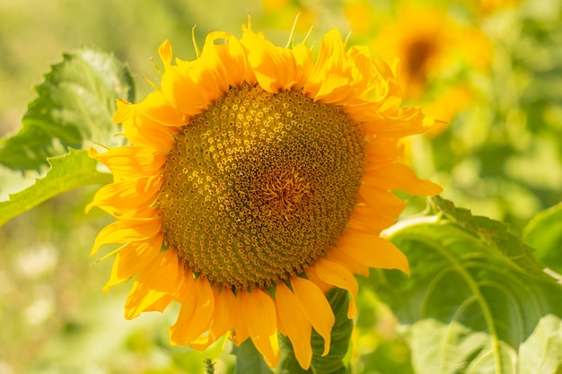 Große blühende reife sonnenblume. nahaufnahme einer sonnigen blume mit samen.