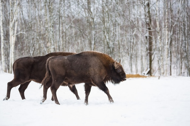 Große braune bisons wisent, die in winterwald mit schnee laufen. herde des europäischen auerochsen-bisons, bison bonasus