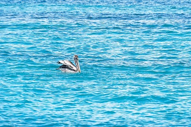 Große braune pelikane schwimmen im türkisblauen wasser des karibischen meeres. saftige seelandschaft des sommers. kuba.