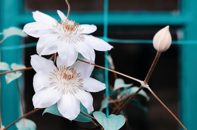 Große clematisblume im frühjahr im garten