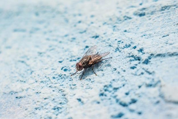 Große fliege auf einer an der blauen wand. die fliege ist ein überträger von infektionen