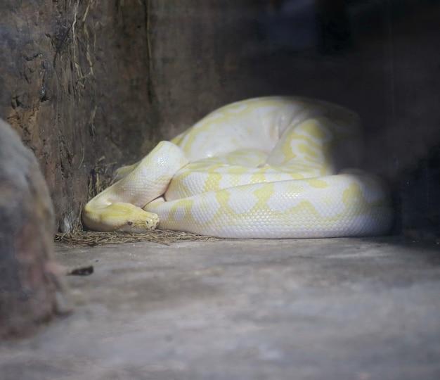 Große gelbe boa