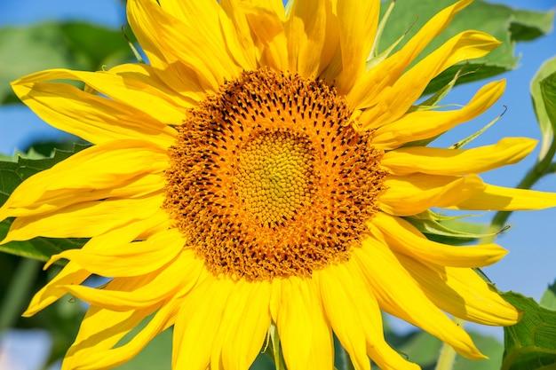 Große gelbe sonnenblumenblume schließen oben bei sonnigem wetter