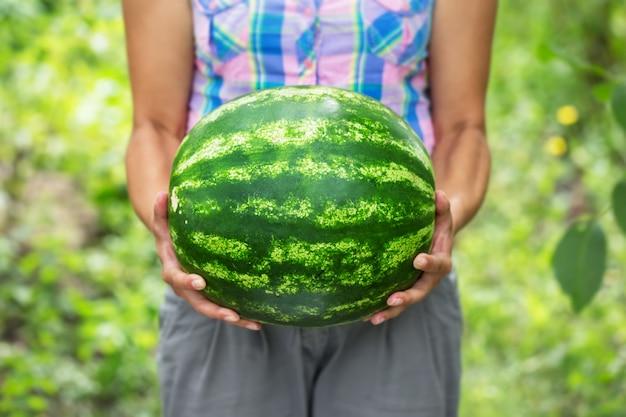 Große gestreifte reife wassermelone in den händen der landwirtin
