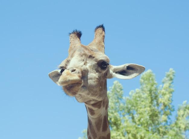 Große giraffe