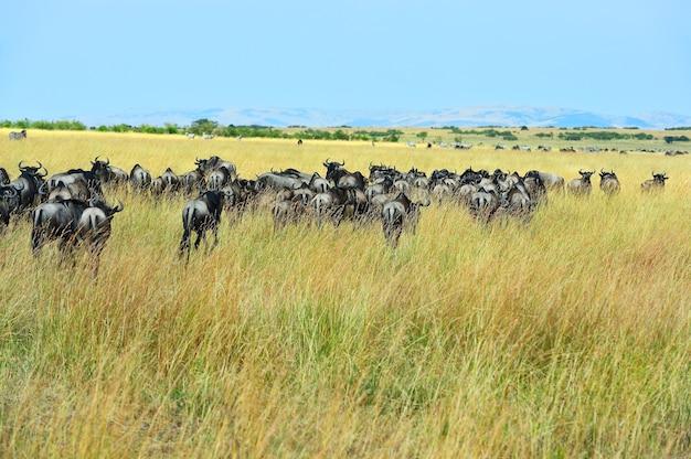 Große gnuwanderung in der afrikanischen savanne