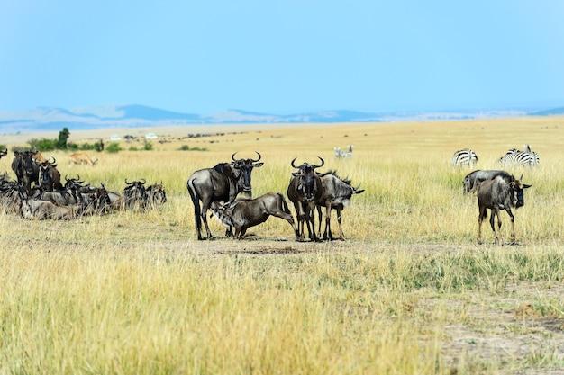 Große gnuwanderung in masai mara