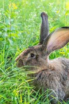 Große graue kaninchenrasse vander auf dem grünen gras. kaninchen frisst gras. kaninchen auf dem bauernhof züchten