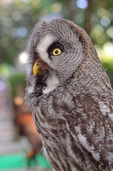 Große grey owl strix nebulosa beautiful birds of thailand
