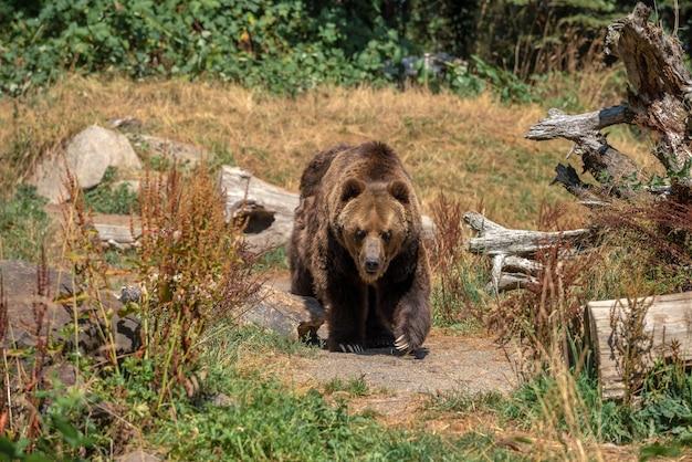Große grizzlybärenbedrohung