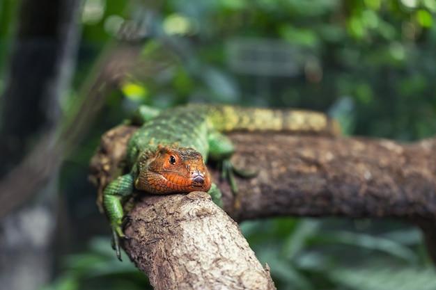 Große grüne eidechse des reptils stehen auf dem baum still und nehmen ein sonnenbad.