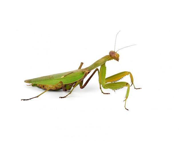 Große grüne gottesanbeterin mit langen antennen steht seitlich