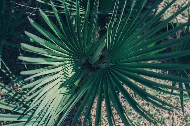 Große grüne palmblätter der kleinen familie sabal. natürlicher tropischer hintergrund, nahaufnahme.