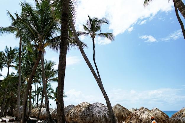 Große grüne palmen steigen zum blauen sommerhimmel am strand