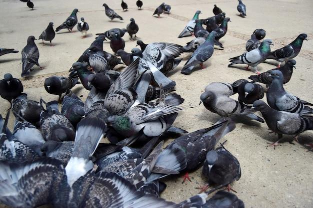 Große gruppe von tauben, die samen vom asphalt essen und mit den flügeln schlagen, nahaufnahme