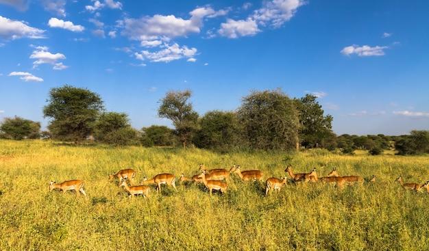 Große herde von impalas. tarangire, tansania