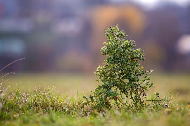 Große hohe stacheldistelgrün-stachelpflanze der nahaufnahme auf den hohen stämmen, die auf dem grünen grasartigen gebiet auf unscharfem weichem sonnigem blauem bokeh wachsen. unkraut und landwirtschaft.