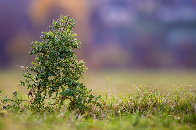 Große hohe stacheldistelgrün-stachelpflanze der nahaufnahme auf den hohen stämmen, die auf dem grünen grasartigen gebiet auf unscharfer weicher bunter sonniger blauer bokeh natur wachsen. unkraut und landwirtschaftskonzept.