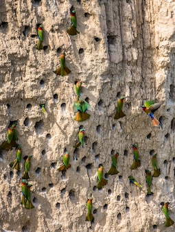 Große kolonie der bienenfresser in ihren höhlen auf einer lehmwand