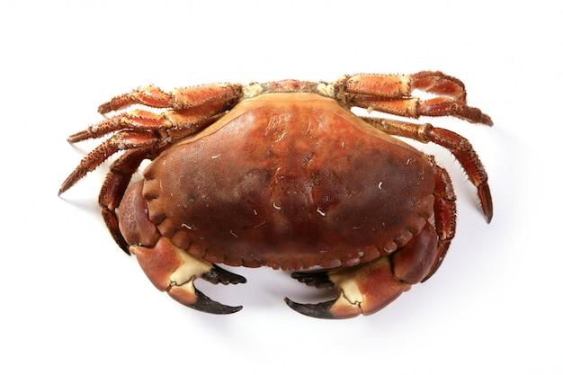 Große krabbe des krebspagurus lokalisiert