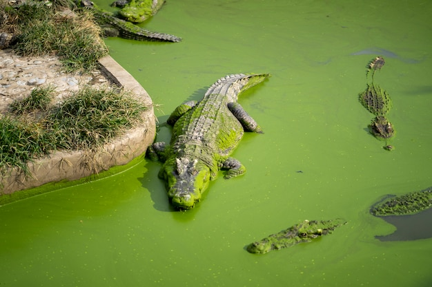 Große krokodile sind im wasser mit viel grüner entengrütze.