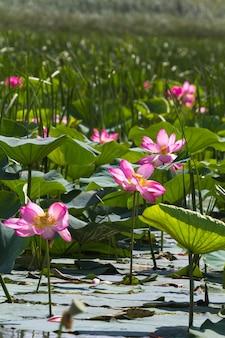 Große lotusfelder im wolgadelta