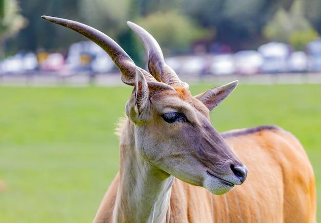 Große männliche eland-antilope