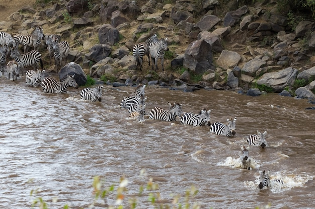 Große migration in kenia maasai mara, serengeti afrika