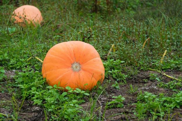 Große orange kürbisse, die im garten wachsen