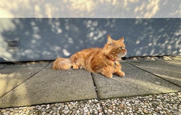 Große orange maine coon katze neugierig und verspielt um das haus