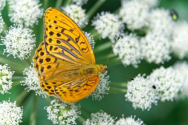 Große orange schmetterlinge auf einer weißen blume gegen verschwommenes dunkles gras. nahansicht. selektiver fokus.