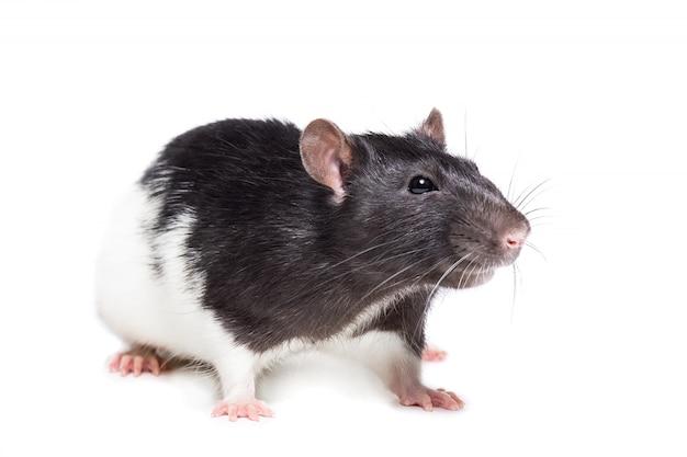 Große ratte isoliert