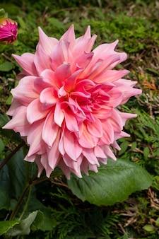 Große rosa dahlie blüht in einem garten in berrynarbor