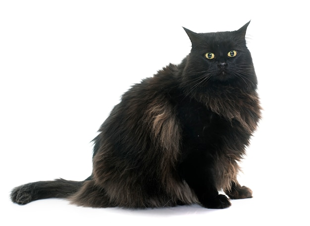 Große schwarze katze