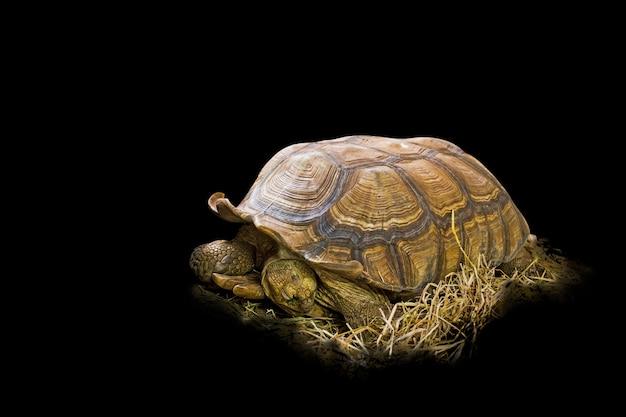 Große sulcata-schildkröte auf dem stroh in schwarz