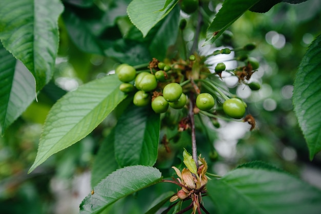 Große trauben von grünen kirschen nahaufnahme auf einem baum im garten. ernte von leckeren kirschen.