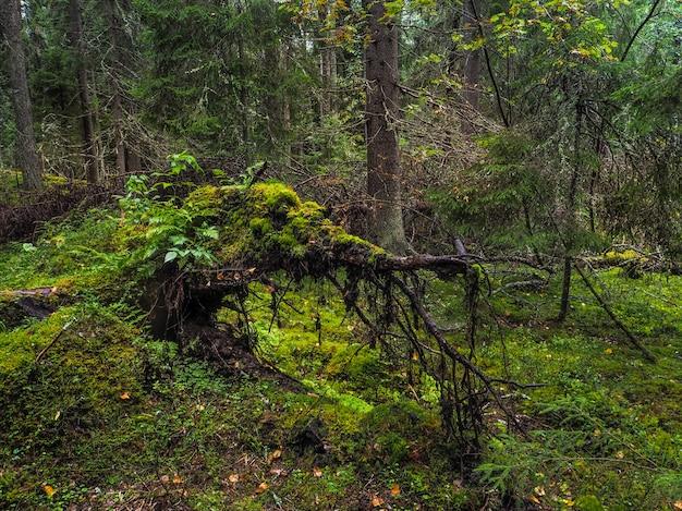 Große umgestürzte baumwurzel bedeckt mit dickem moos in der taiga. jungfrau flora von wäldern. geheimnisvolle waldatmosphäre